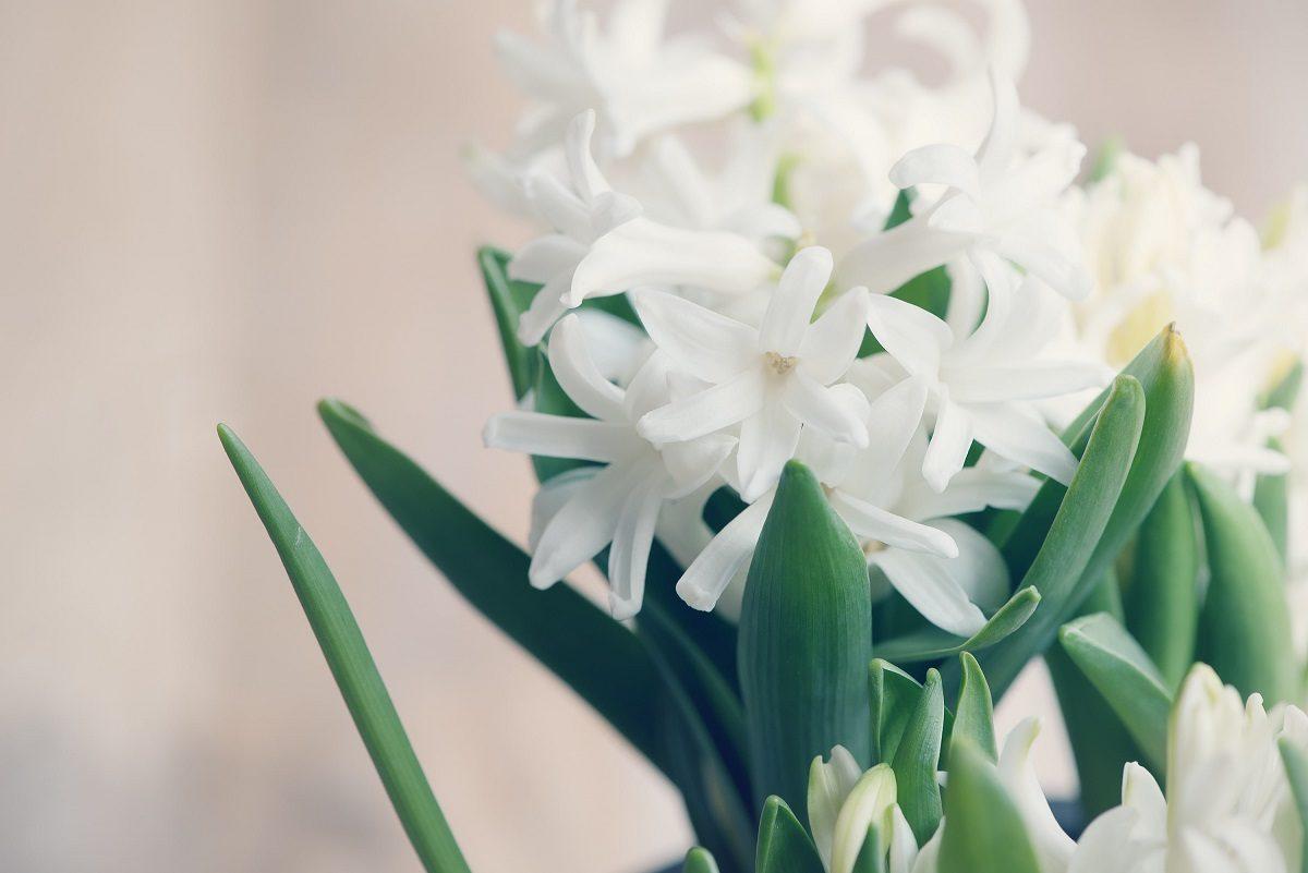 عکس گل سنبل سفید برای پروفایل