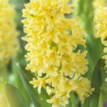 عکس گل سنبل زرد برای پروفایل