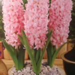 عکس گل سنبل صورتی برای پروفایل
