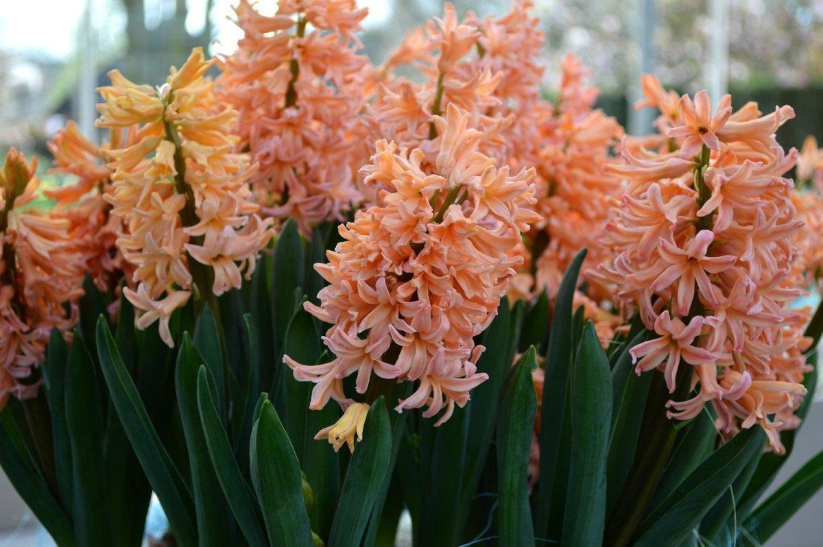 عکس گل سنبل زیبا مناسب پروفایل