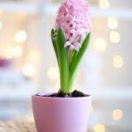 گلدان صورتی گل سنبل