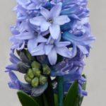 گل سنبل آبی خوشگل واسه پروفایل