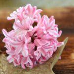 عکس هنری از گل سنبل