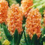 عکس پروفایل گلدان گل سنبل