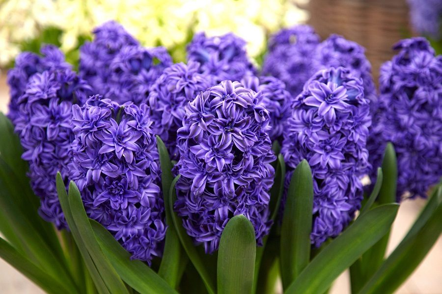 عکس گل سنبل بنفش برای پروفایل