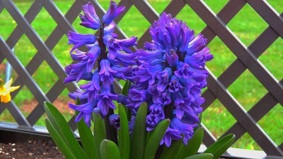 عکس های زیبا از گل سنبل