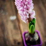 عکس باکیفیت گل سنبل
