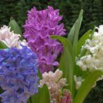 عکس گل سنبل رنگی