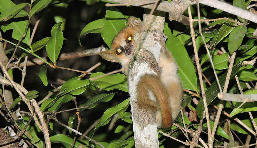 کوچک ترین حیوانات دنیا: لمور موشی مادام برت