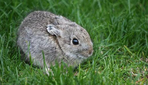 کوچکترین حیوانات جهان: خرگوش کوتوله