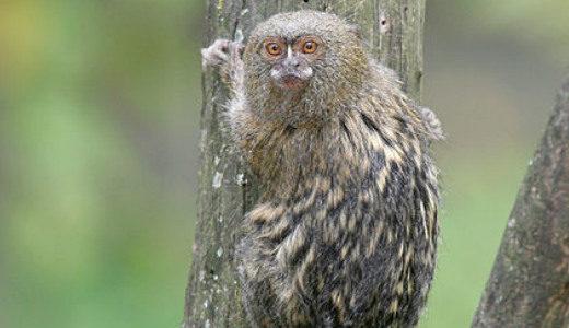 کوچکترین حیوانات دنیا: مارموست (بوزینه) کوتوله