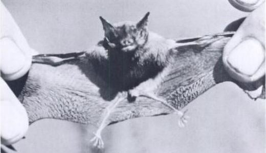 کوچک ترین حیوانات دنیا: خفاش خوکبینی کیتی